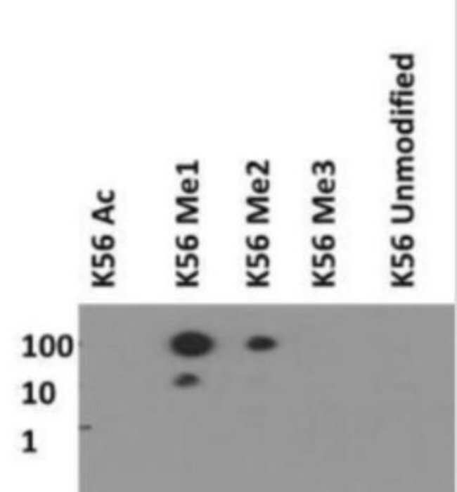 anti-Histone H3 (Monomethyl Lys56), Polyclonal, Novus Biologicals:Antibodies:Primary
